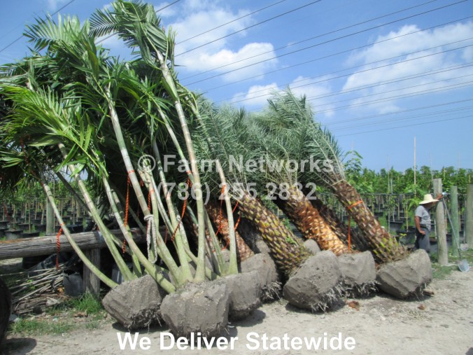 Alexander Palm, Wholesale Palms Miami