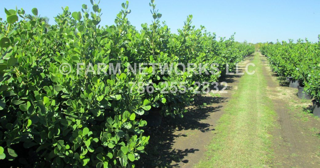 cropped-clusia-hedge-for-sale.jpg