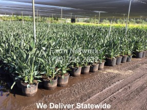 plant finder, Bird of Paradise,Homestead Nursery,