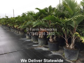 plant finder, bottle palms