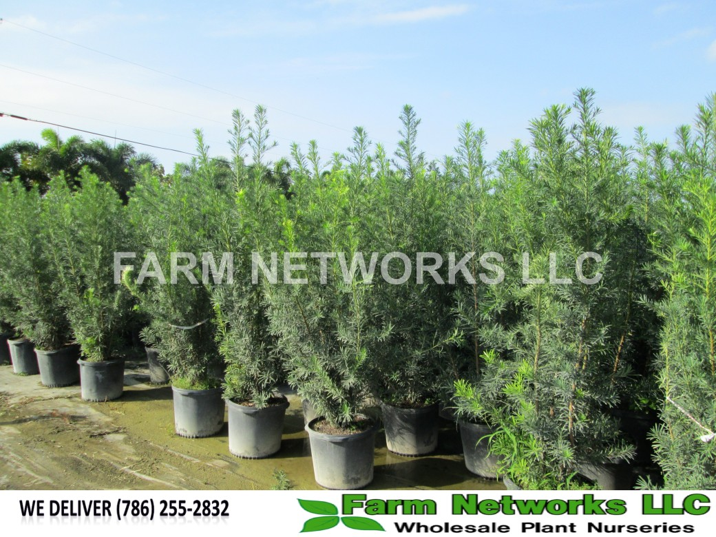 1-Gallon-Podocarpus-Size-Price each