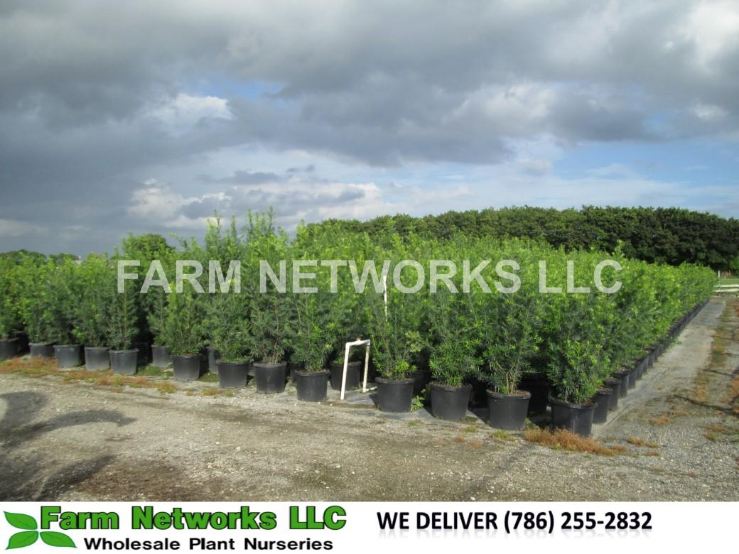 15-Gallon-Podocarpus-Size-Price each