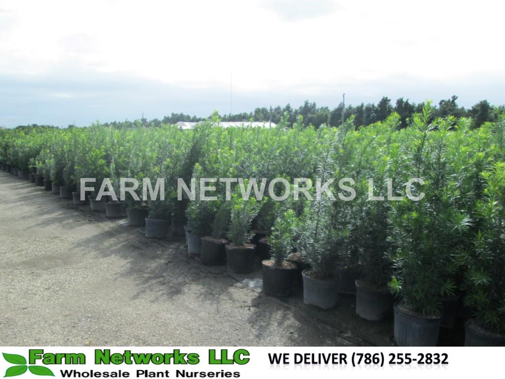 2-Gallon-Podocarpus-Size-Price each