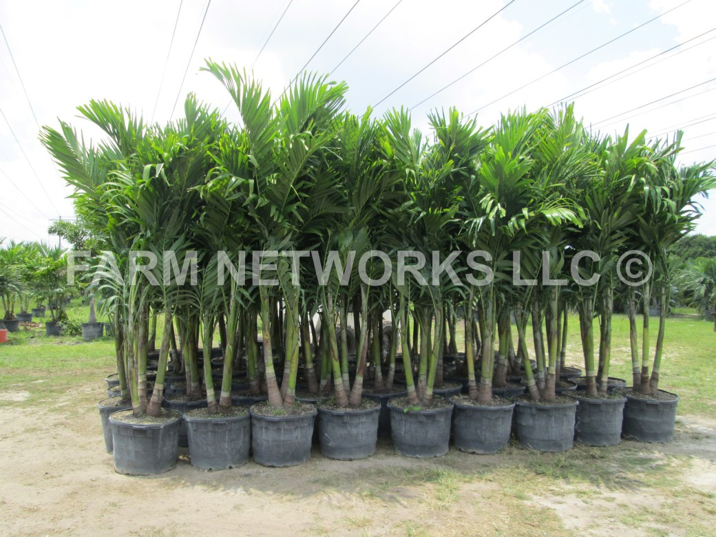 25-Gallon-Adonidia Merrillii-Christmas Palm