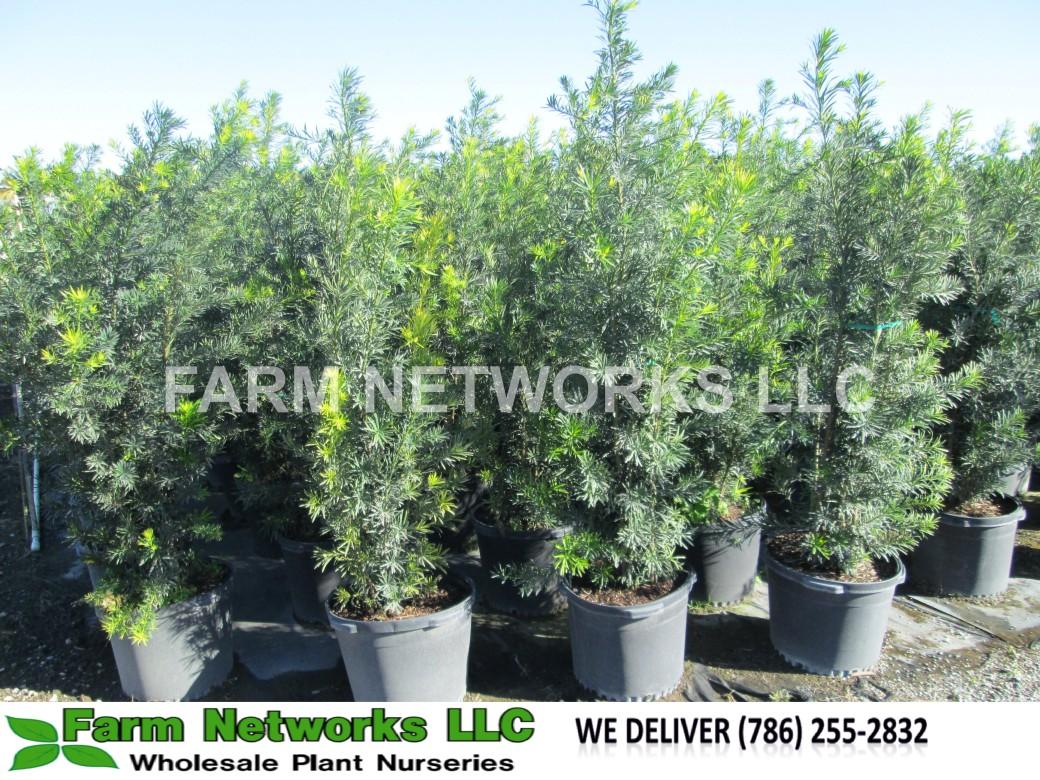 25-Gallon-Podocarpus-Size-Price each