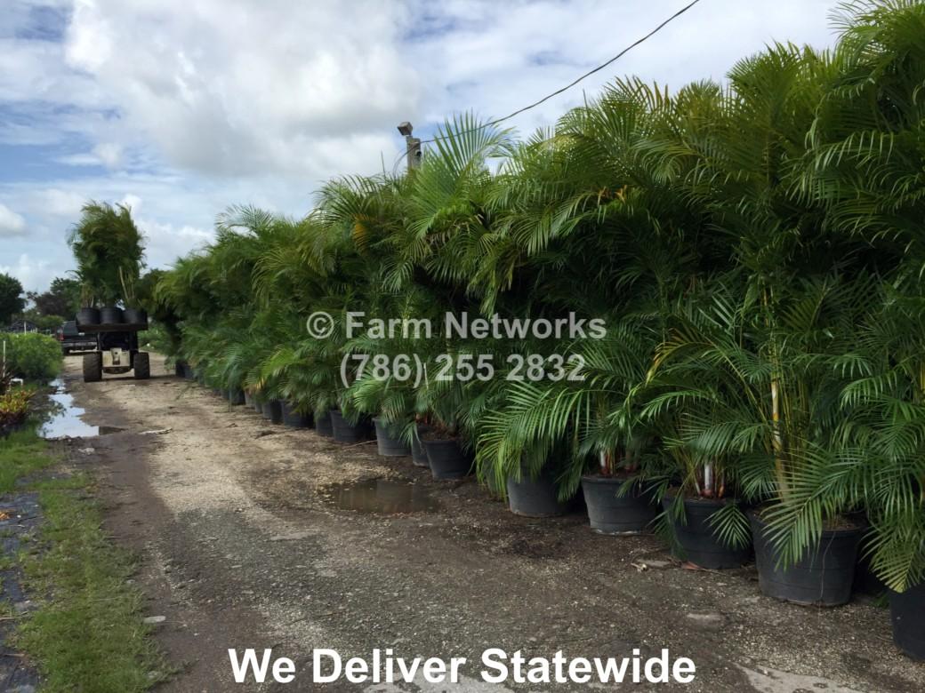 45 Gallon Areca Palm Nursery