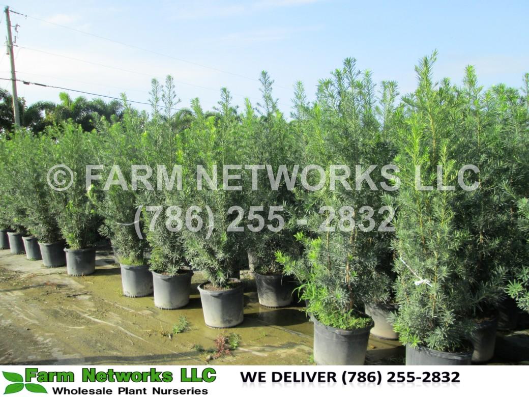 podocarpus maki,