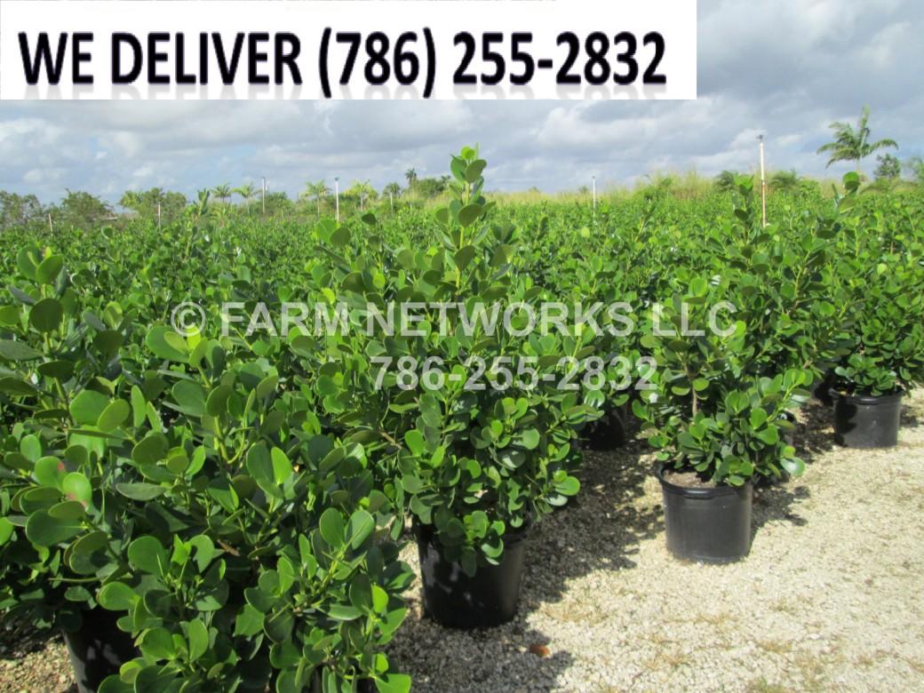7 Gallon Florida Clusia Nursery
