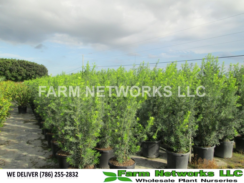 7-Gallon-Podocarpus-Size-Price each