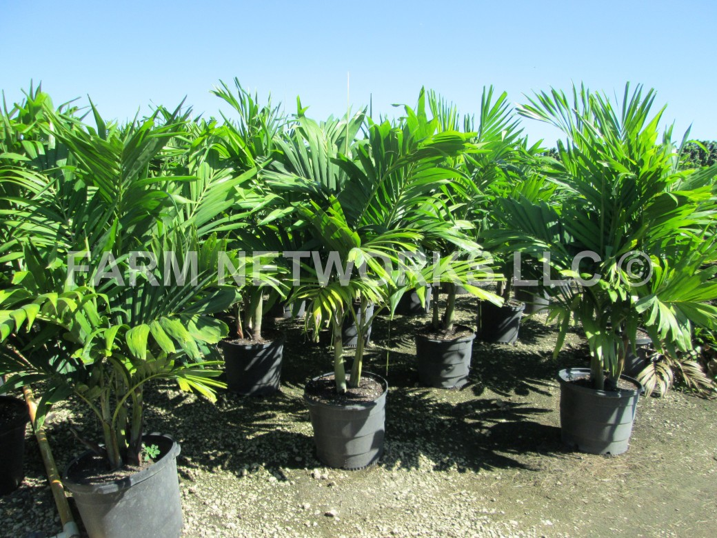 Adonidia Merrillii-Christmas Palm-Broward