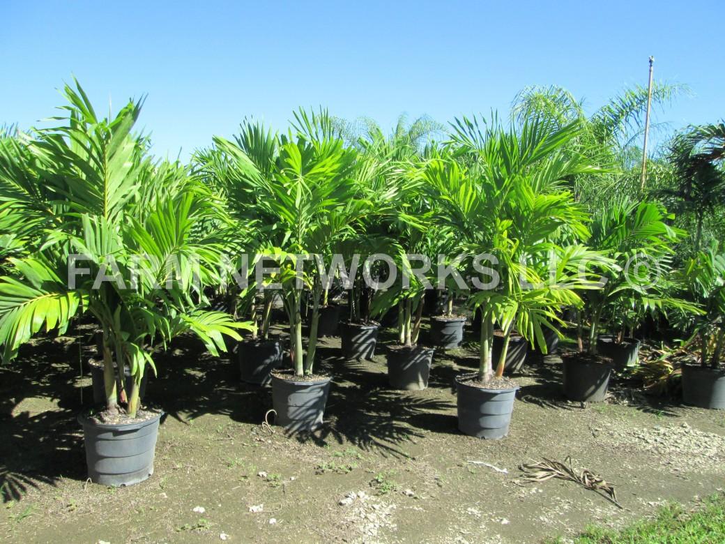 Adonidia Merrillii-Christmas Palm-Homestead