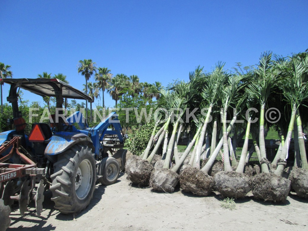 Adonidia Palm Trees for Sale