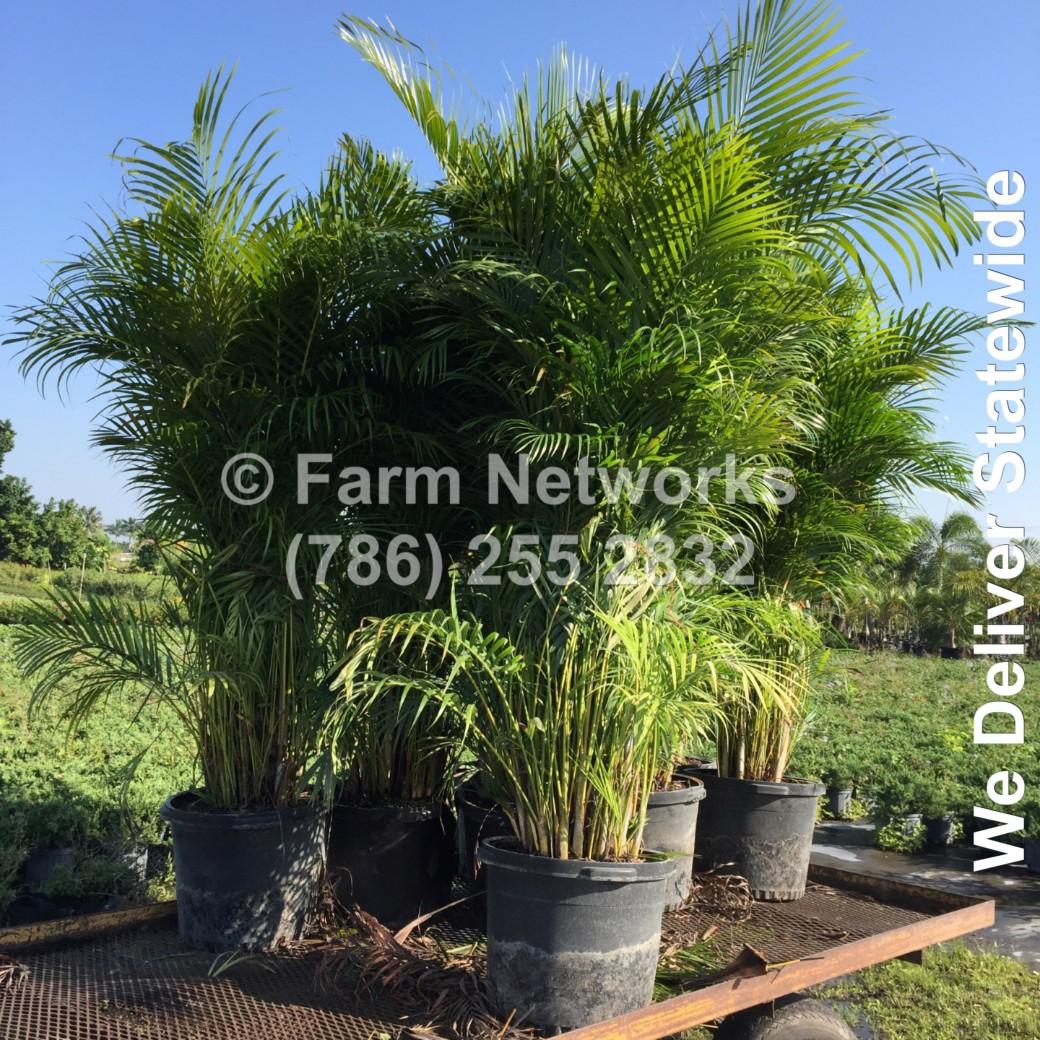 Areca Palm Nursery-Broward