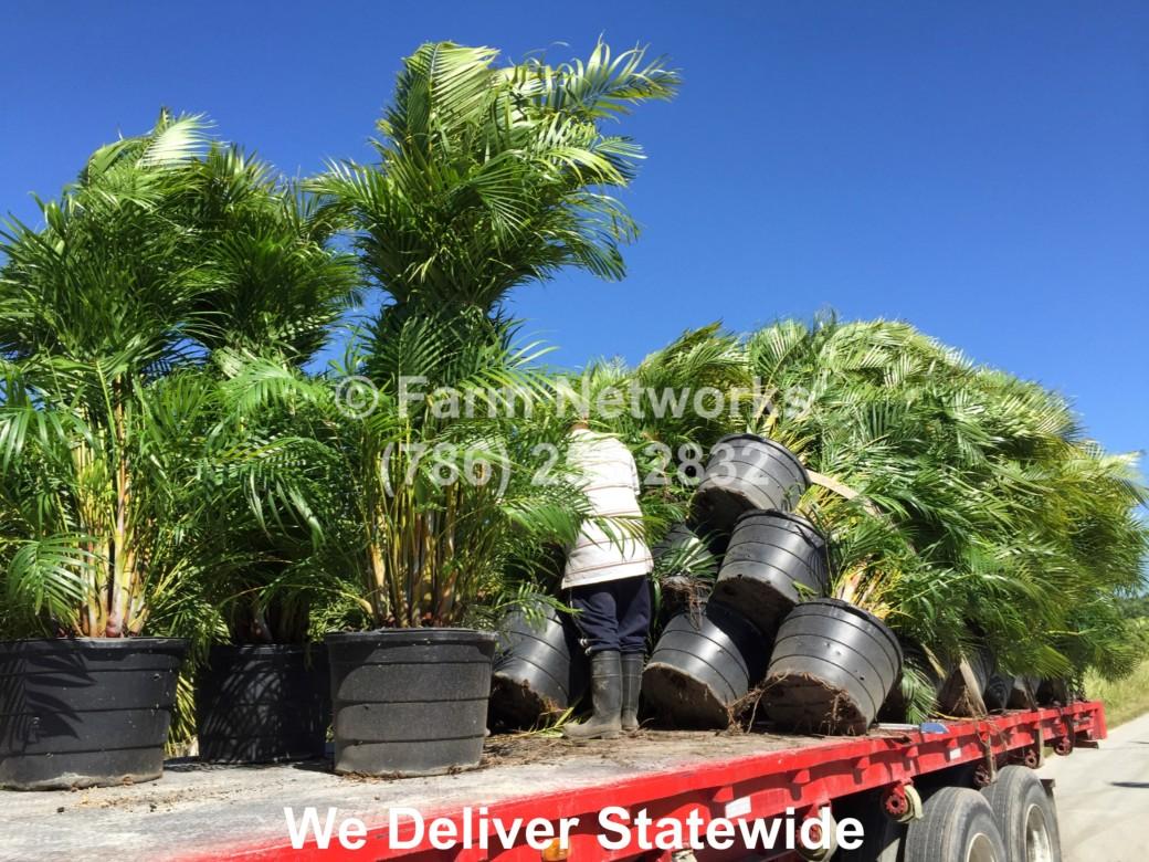 Areca Palm Nursery-Florida
