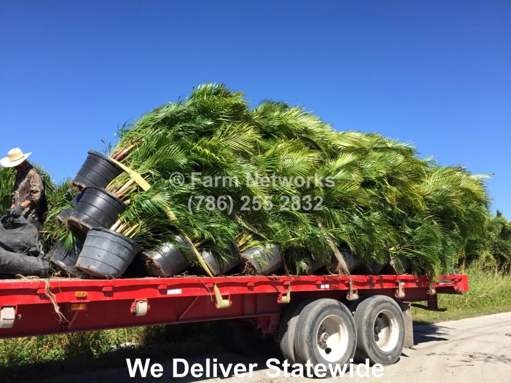 Areca Palm Trees-25-Gallon