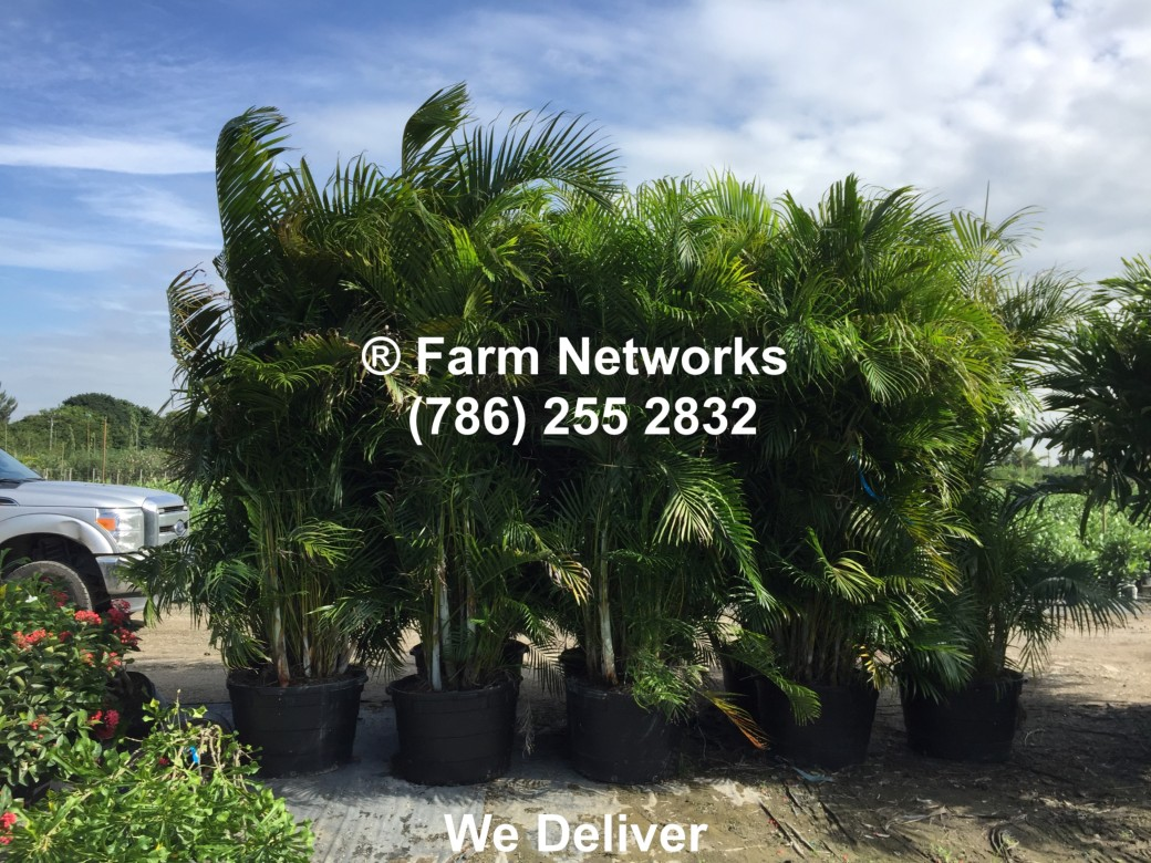 Areca Palm Trees-7-Gallon