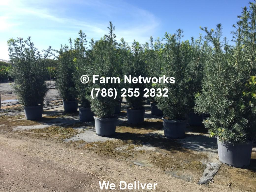 Best Prices on 25 Gallon Podocarpus