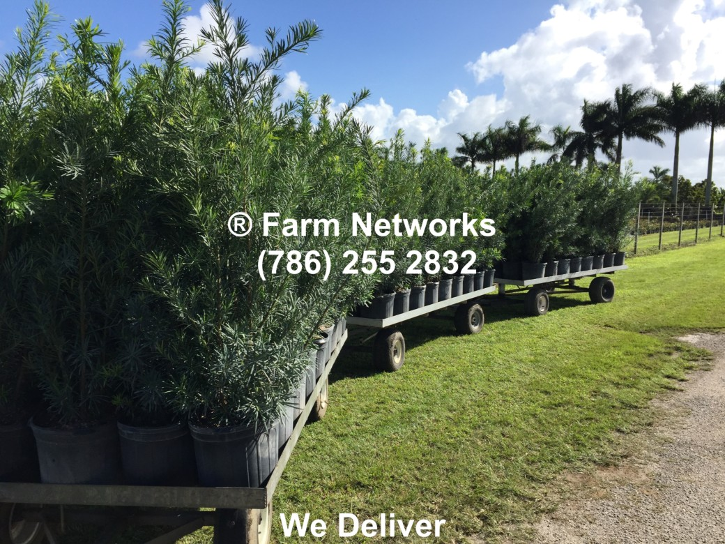 Best Prices on 3 Gallon Podocarpus