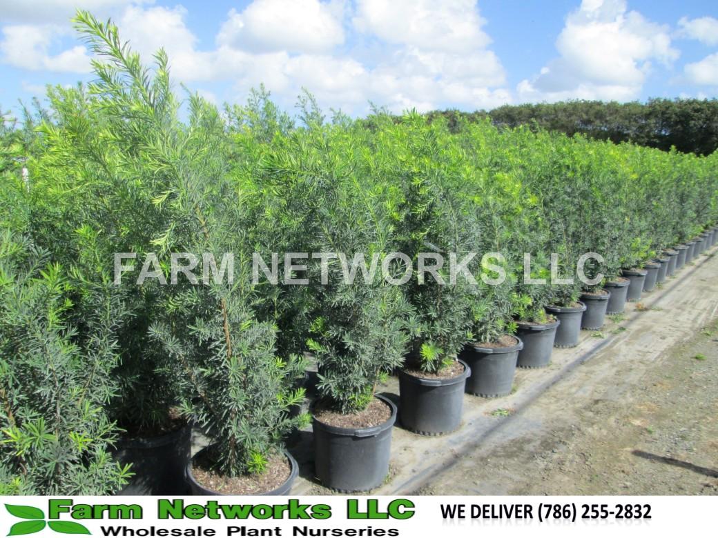 Boca Raton-Podocarpus-Size-Price each