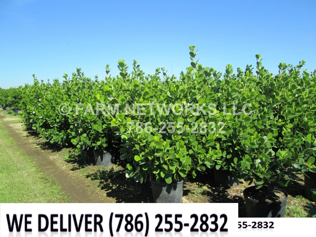 Clusia Size-Price each-Broward-Growers