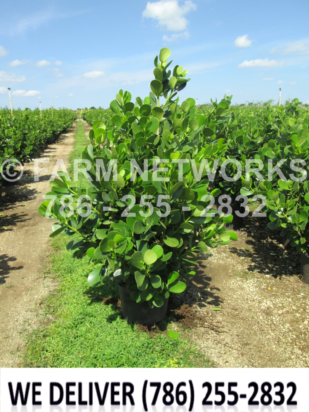 Clusia Size-Price each-Fort Myers