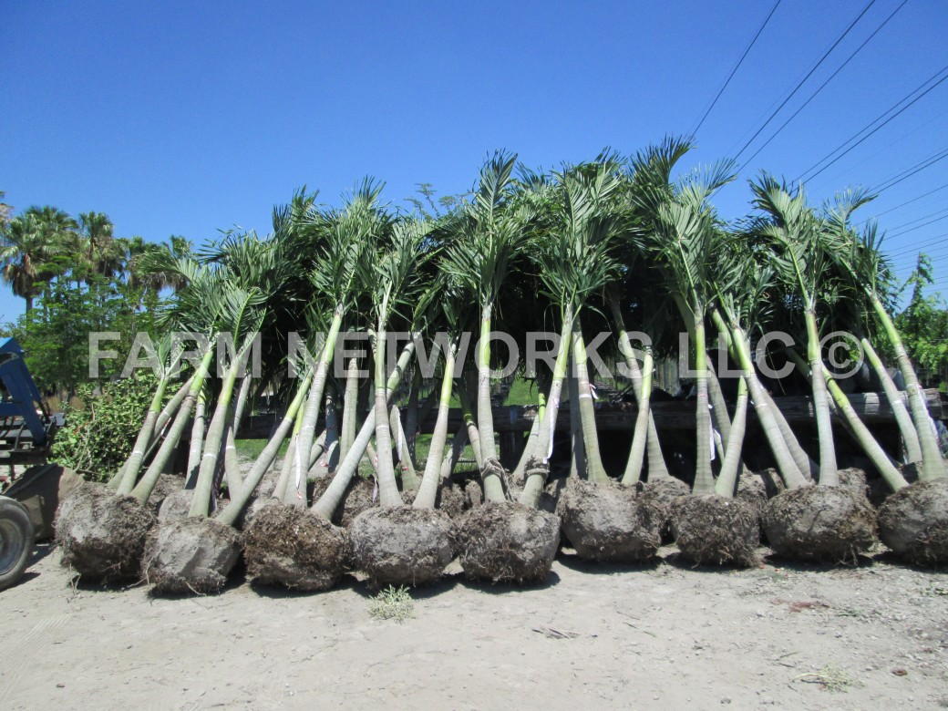 Field Grown Adonidia Palm-Miami