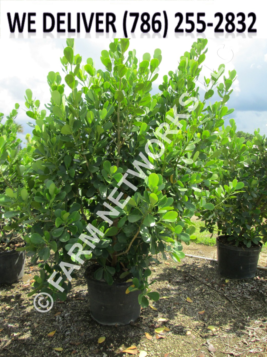 Field-Grown-Clusia-for-Sale