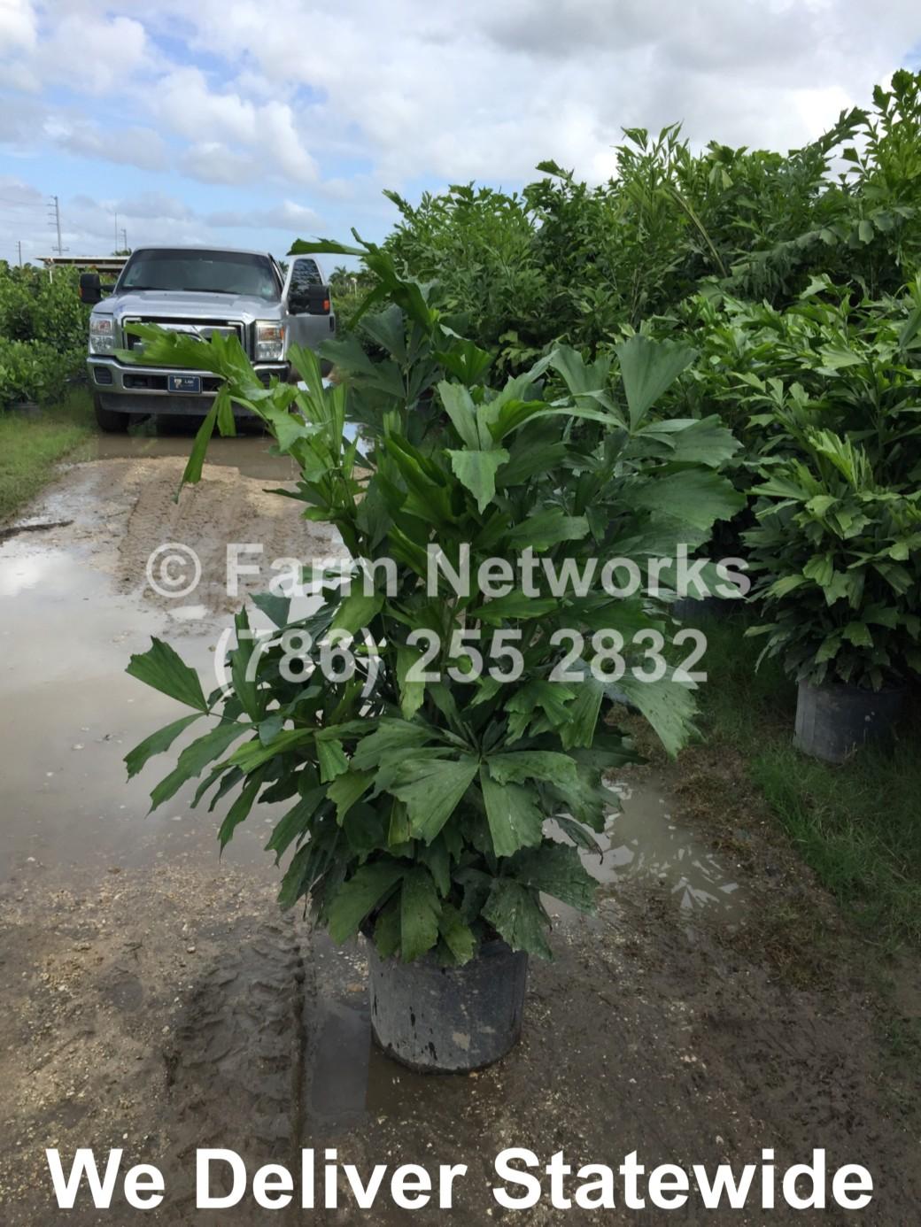 Fishtail-Palm-7-Gallon