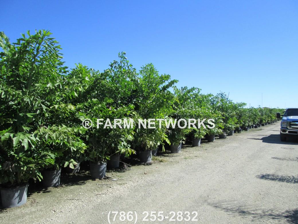 Fishtail-Palm-Tree Stuart, FL