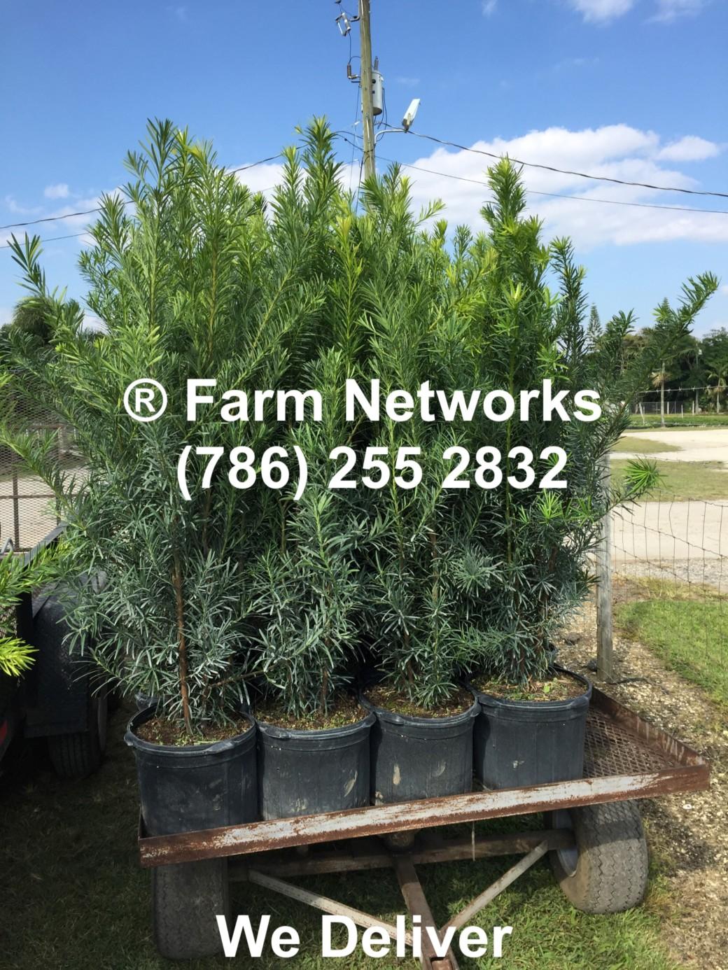 Florida Podocarpus Hedge