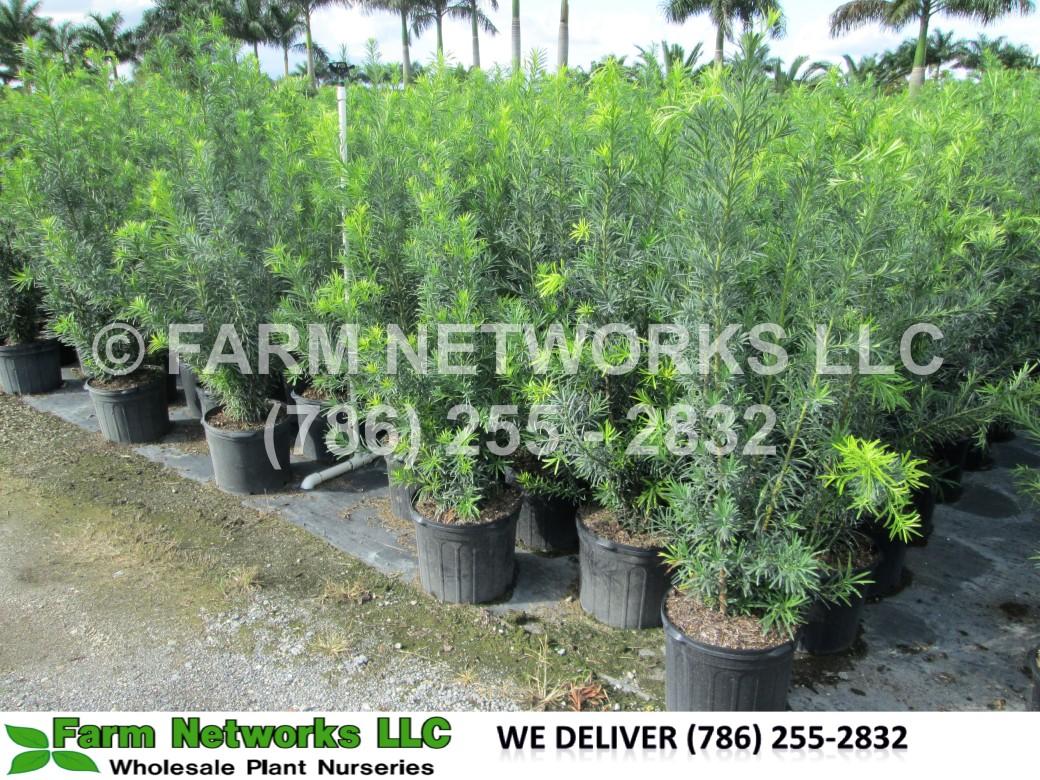 Podocarpus in Homestead