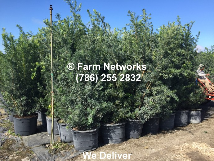 Hedge Plant for Sale-Podocarpus
