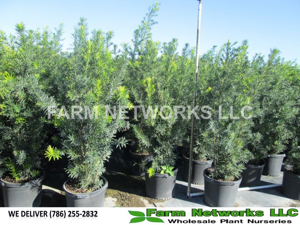 Hobe Sound-Podocarpus-Size-Price each