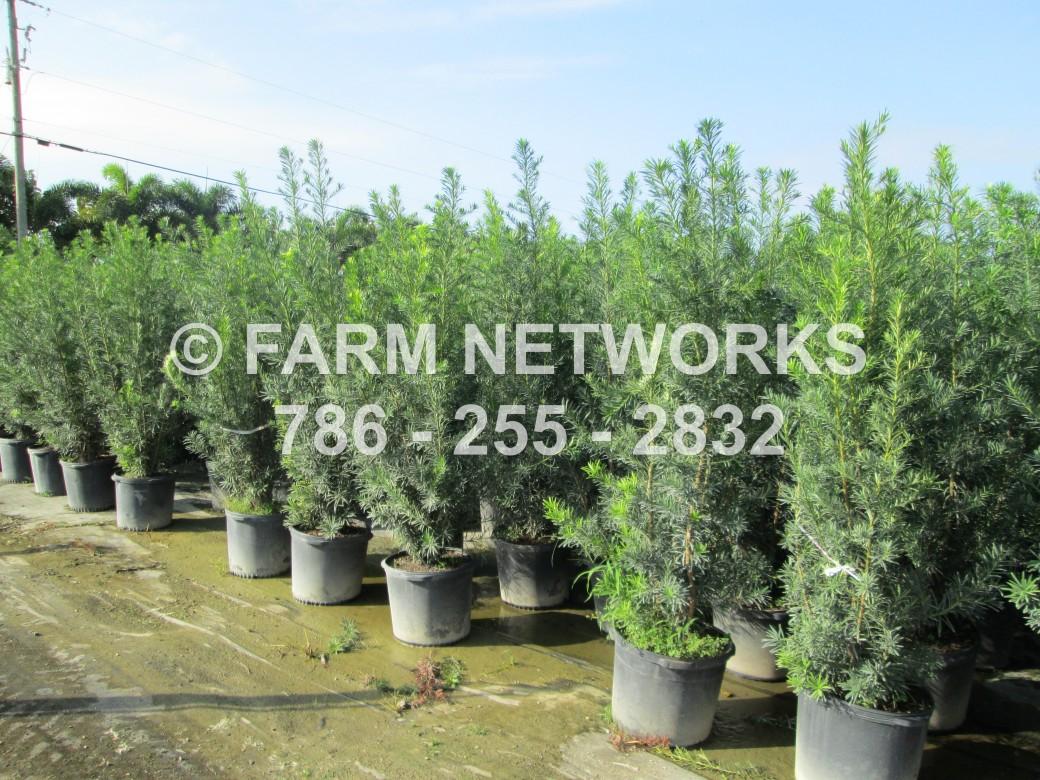 3g Podocarpus Maki