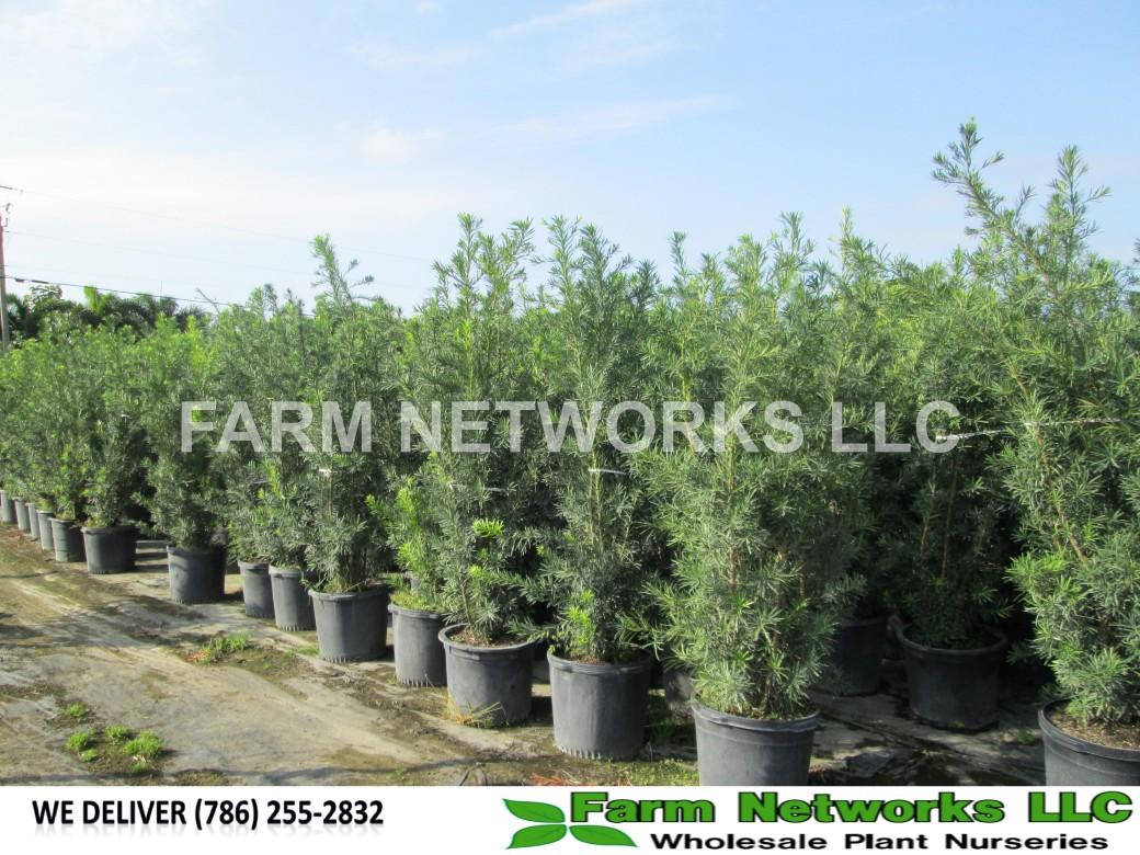 Jupiter-Nursery-Podocarpus-Size-Price each