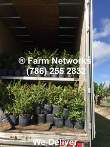 palm-beach-hedges-Homestead Nurseries