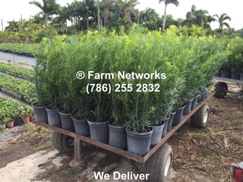 Podocarpus-Florida