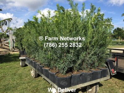 Podocarpus Growers
