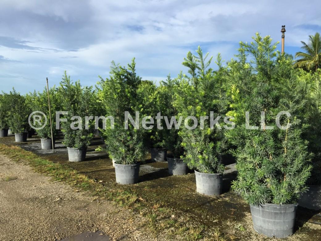 Podocarpus Hedge-15 Gallon