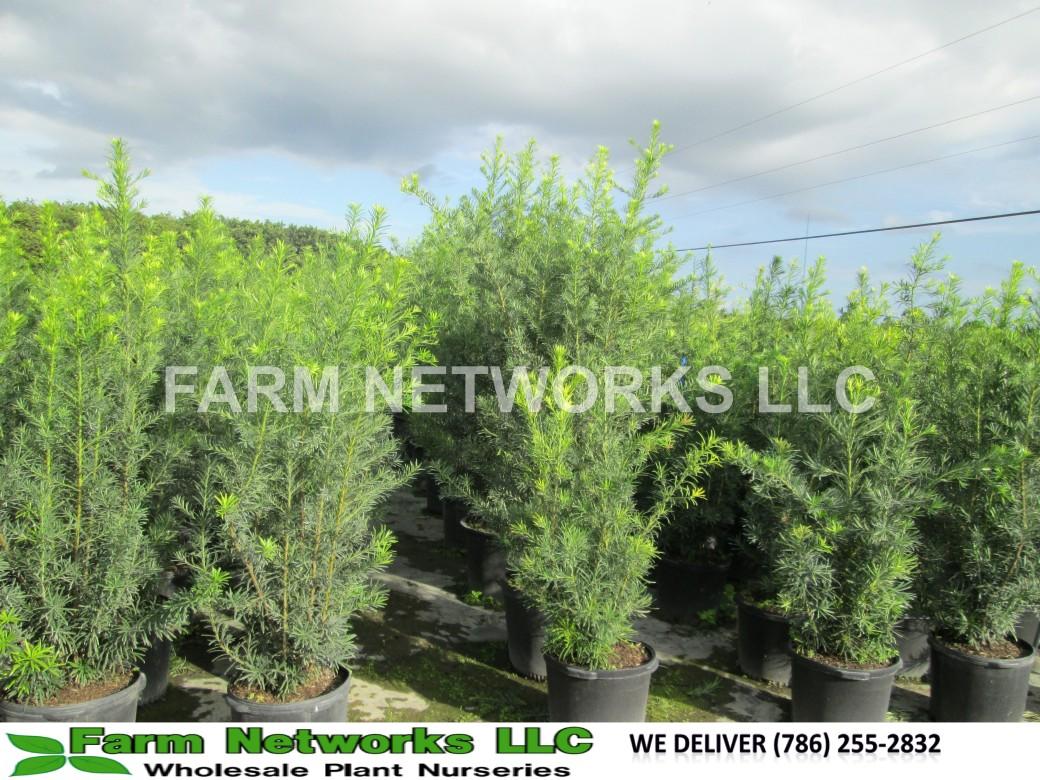 Podocarpus Hedge-25 Gallon