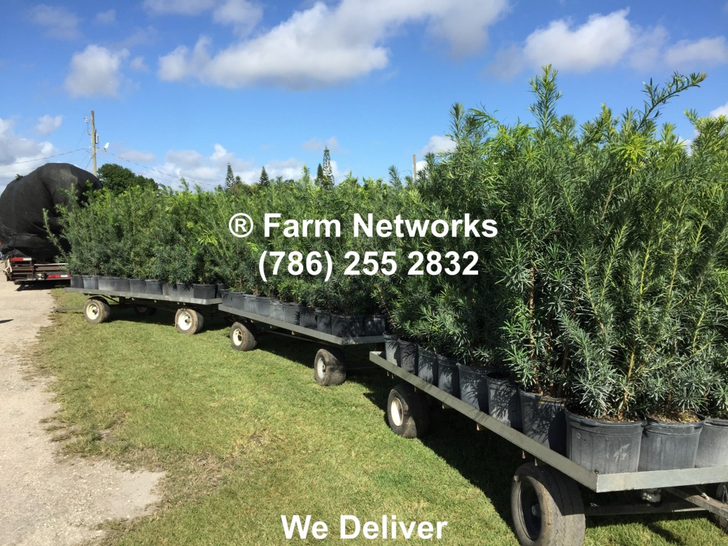 Podocarpus Hedge-3 Gallon