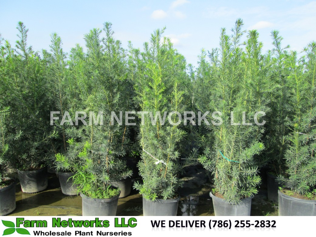 Podocarpus Hedge-30 Gallon