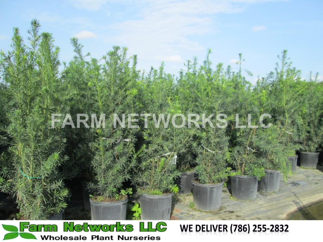 Podocarpus Hedge-South-Florida