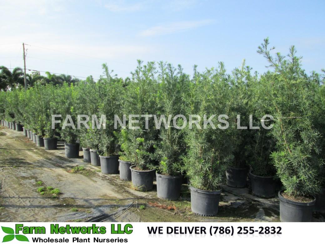 Stuart-Podocarpus-Size-Price each