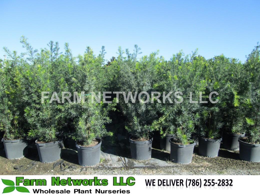 West Palm Beach-Podocarpus-Size-Price each