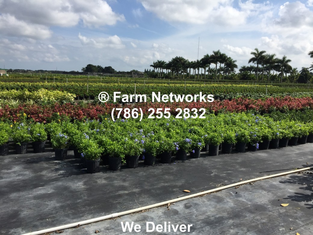 Clusia Hedge Sizes-Hobe Sound