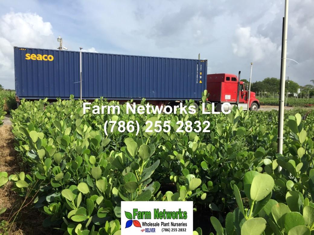 Clusia Hedge Sizes-West Palm Beach