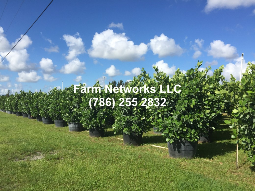 Clusia Hedges Sizes-Fort Lauderdale